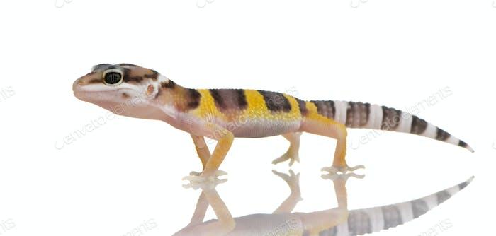 Juvenile Leopard gecko - Eublepharis macularius