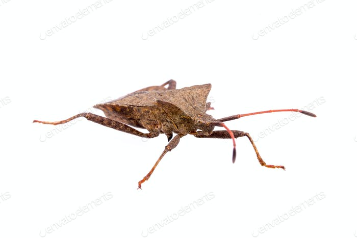 Dock Bug on a white background