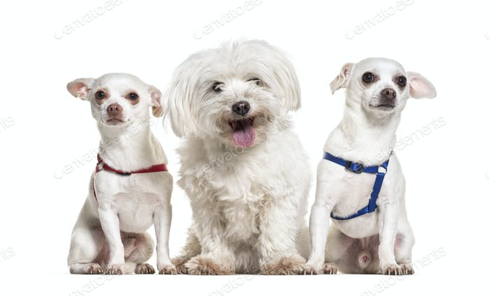 Chihuahua dogs and maltese sitting against white background