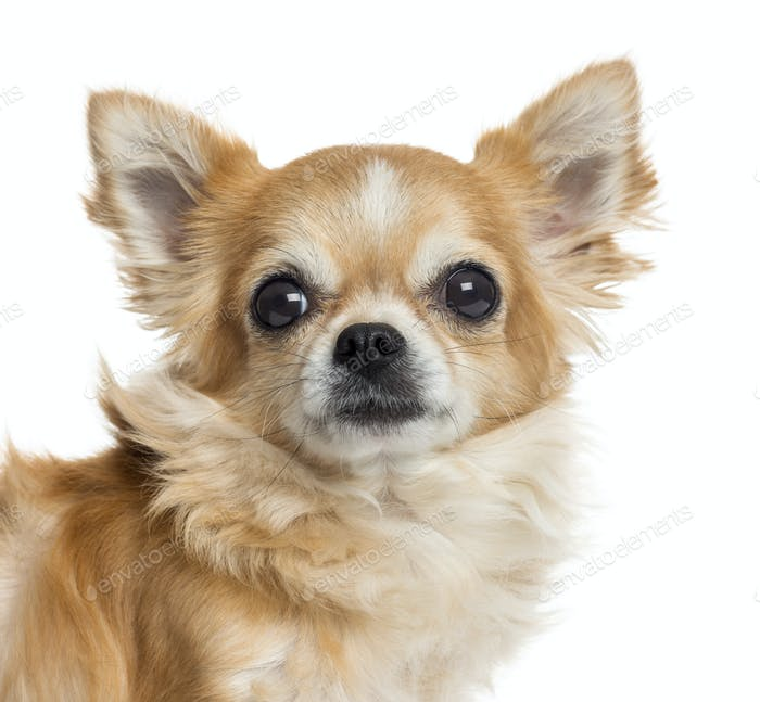 Close-up of a Chihuahua, isolated on white