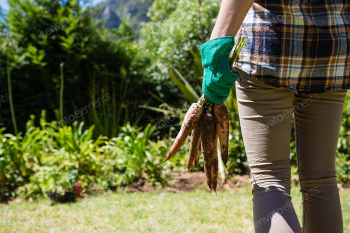 Mid section of woman holding harvested carrots in garden