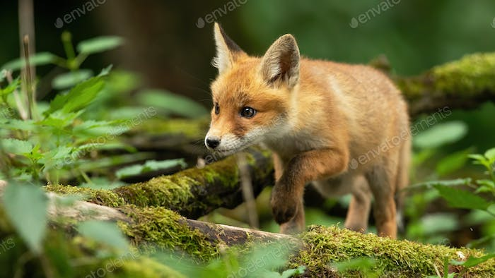 Red fox cub walking through spring forest with mossy branches on the ground