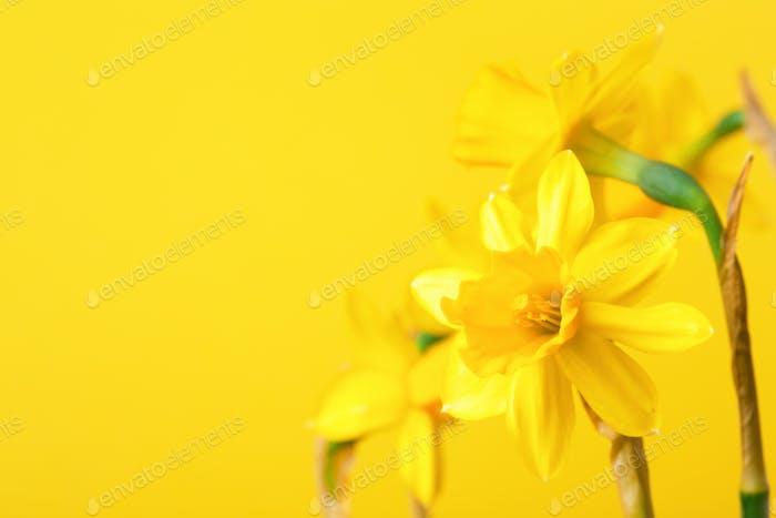 Yellow Daffoldils on Yellow Background.