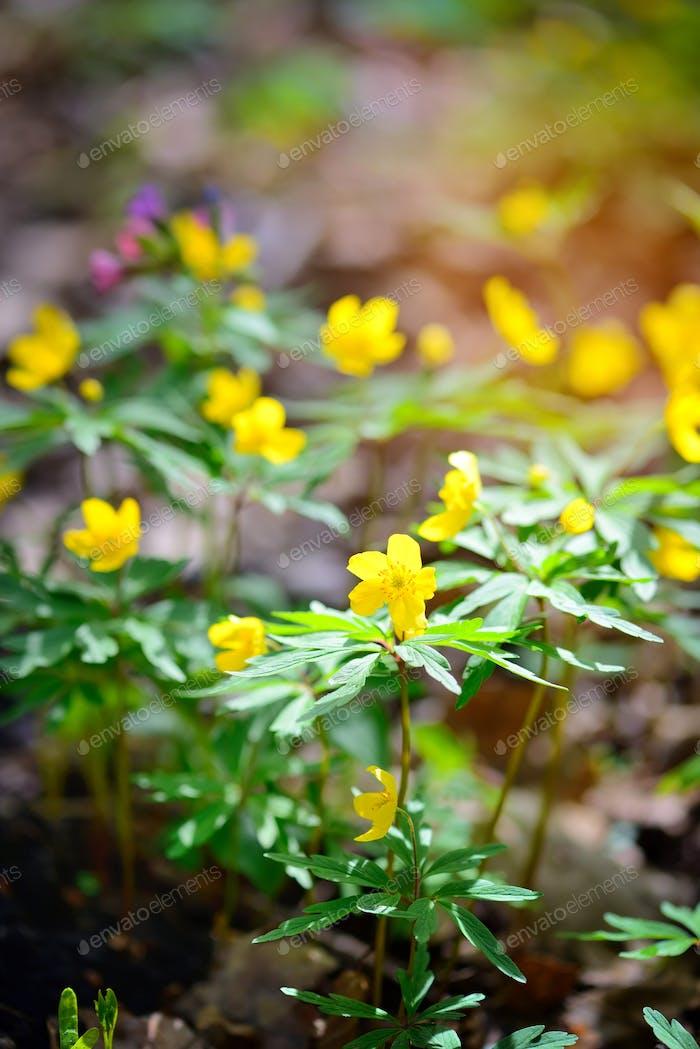 Die gelbe Holzanemone (lateinisch: Anemone Ranunculoides) blüht