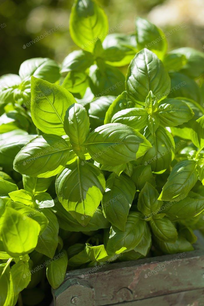 fresh basil herbs in rustic container in garden