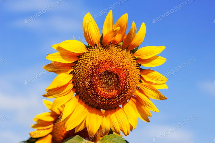 beauty of sunflowers with sky