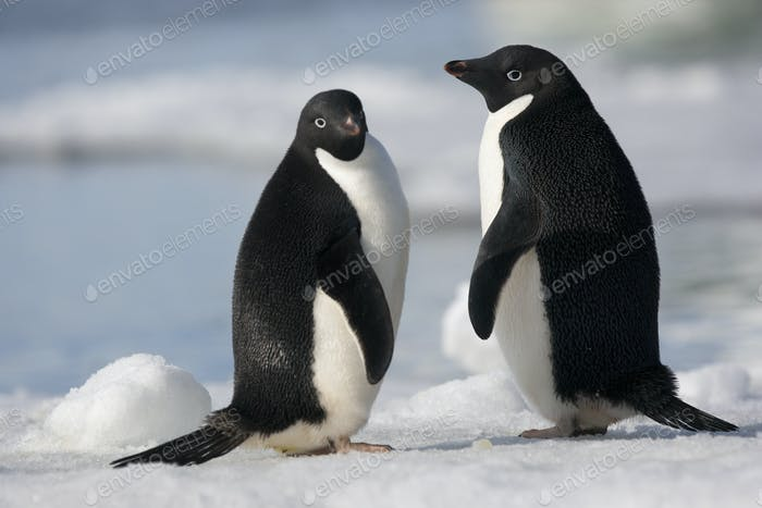 A pair of Adelie penguins in the  late afternoon light in Antarctica.