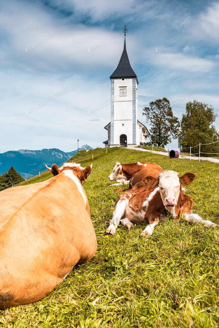 Cows Grazing at Picturesque  Church Of St Primoz in Kamnik,Jamni