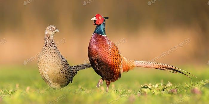 Два обычных фазана, стоящих рядом друг с другом во время весеннего сезона размножения