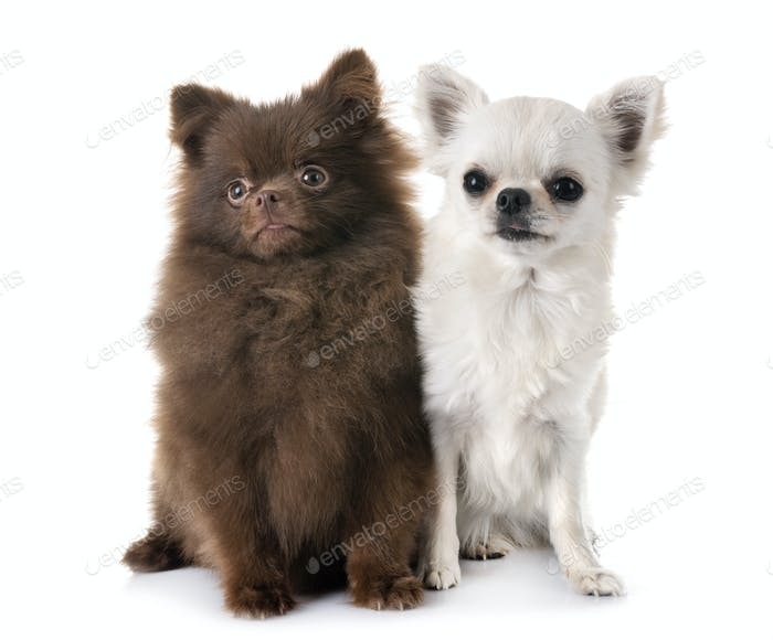 puppy pomeranian and chihuahua