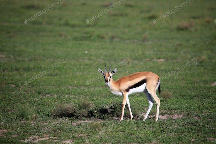Thompsons Gazelle - Maasai Mara Reserve - Kenya