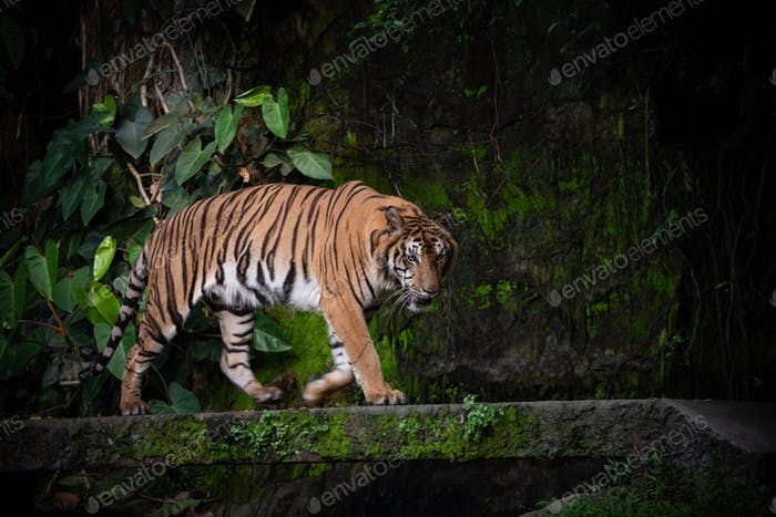 Bengal Tiger, large carnivore wildlife in forest