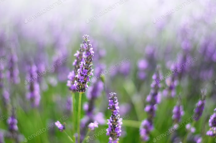 Provence nature background. Lavender field in sunlight with copy space. Macro of blooming violet