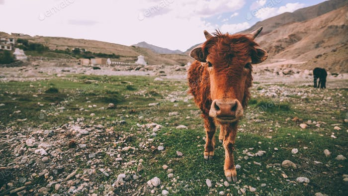 close-up view of brown cow looking at camera in rocky valley in Indian Himalayas, Ladakh region
