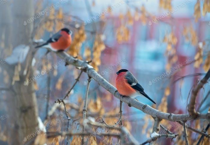 two Bullfinch bird sitting on a branch