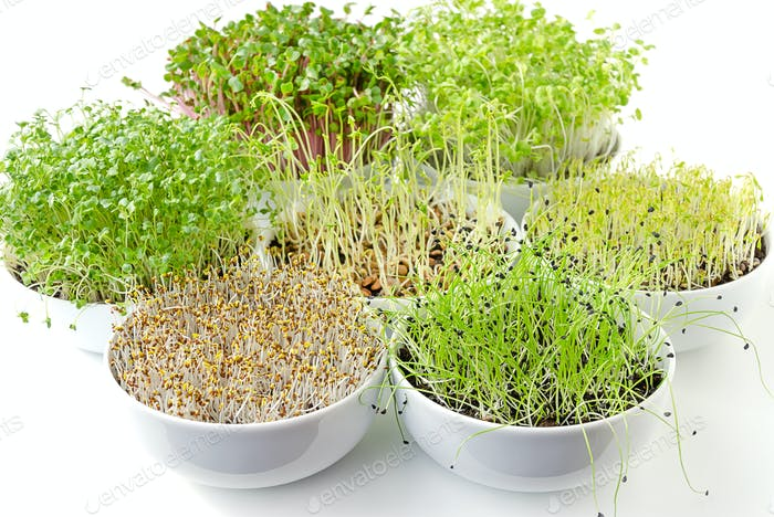 Different sprouts in white bowls