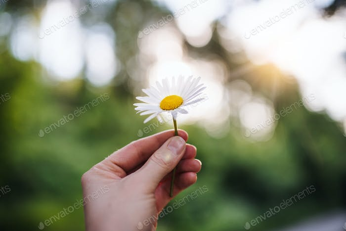 Close-up of female hand holding a daisy flower outdoors in nature
