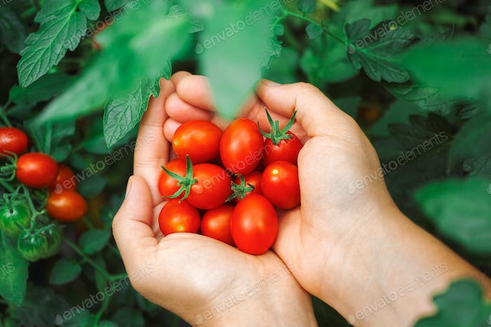 Fresh harvested cherry tomatoes