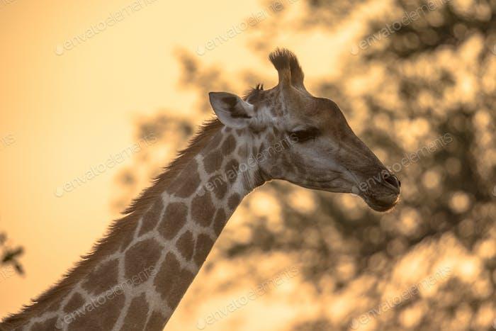 Giraffe portrait in orange afternoon light