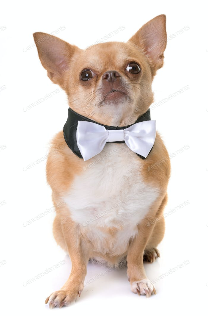 chihuahua and bowtie
