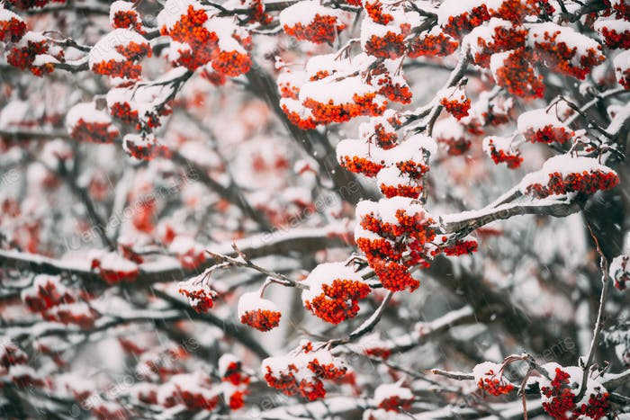 Rowans Red Berries Covered Winter Snow.
