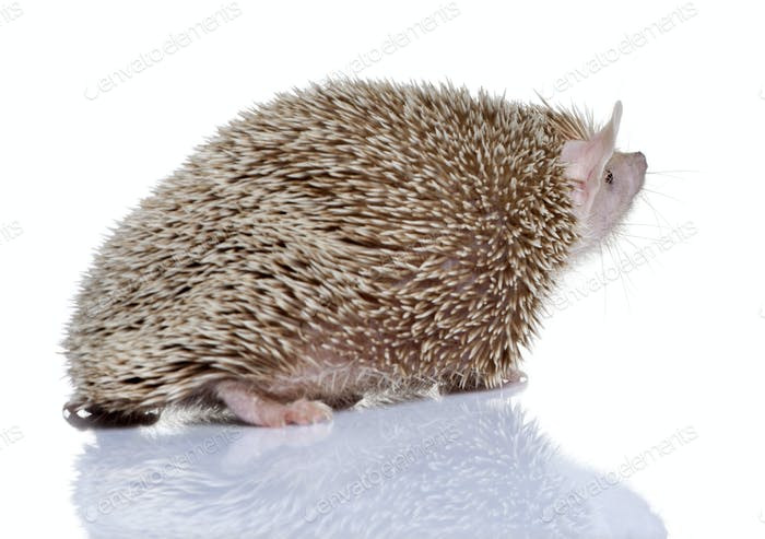 Side view of Lesser Hedgehog Tenrec, Echinops telfairi, in front of white background