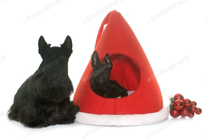 two scottish terrier in kennel