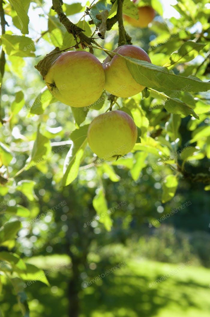 Ein Apfelbaum auf einer Farm.