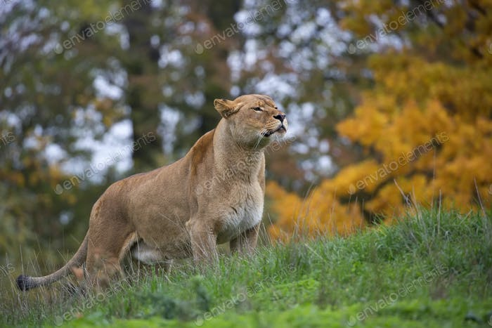 Lioness in a clearing