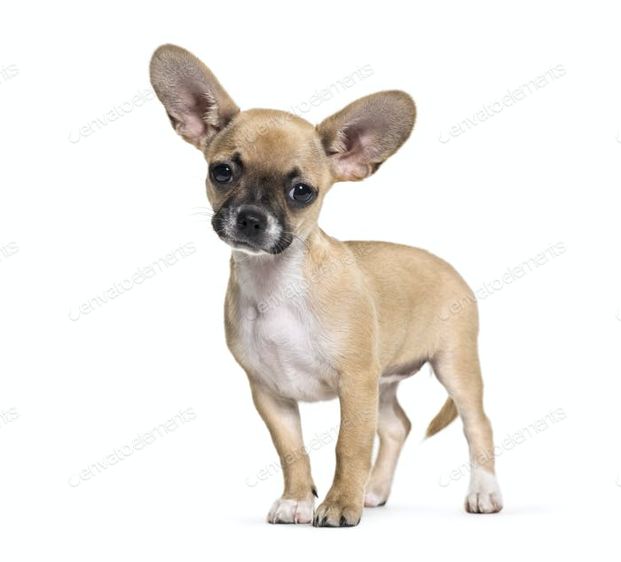 Mixed-breed dog, 3 months old, in front of white background