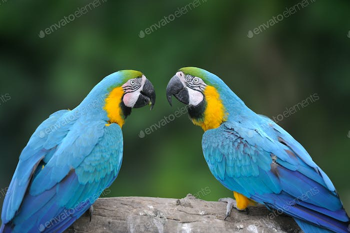 Wild parrot bird, blue parrot Great-Green Macaw, Ara ambigua