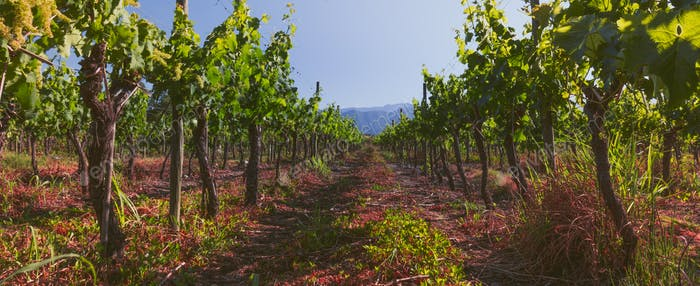 Panoramic view of chilean vineyard. Chilean landscape.