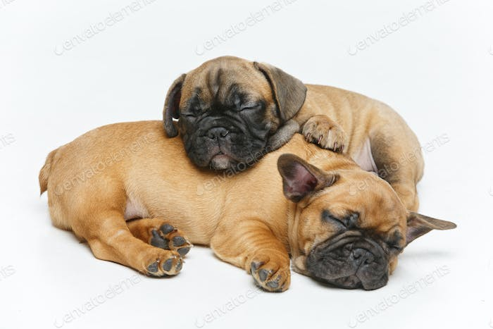 cute french bulldog puppies sleeping