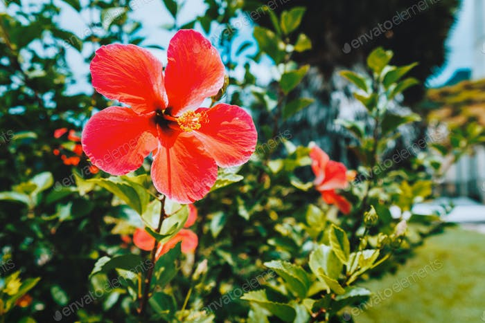 Close up of Red hibiscus flower against blurred green foliage