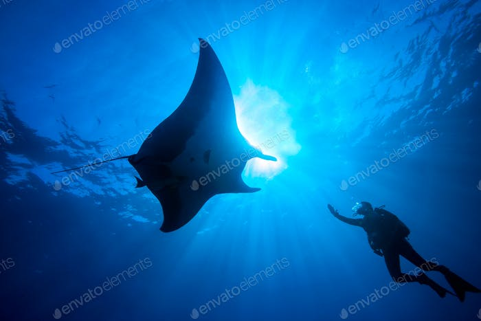 Scuba diver reaches towards a majestic manta ray underwater.