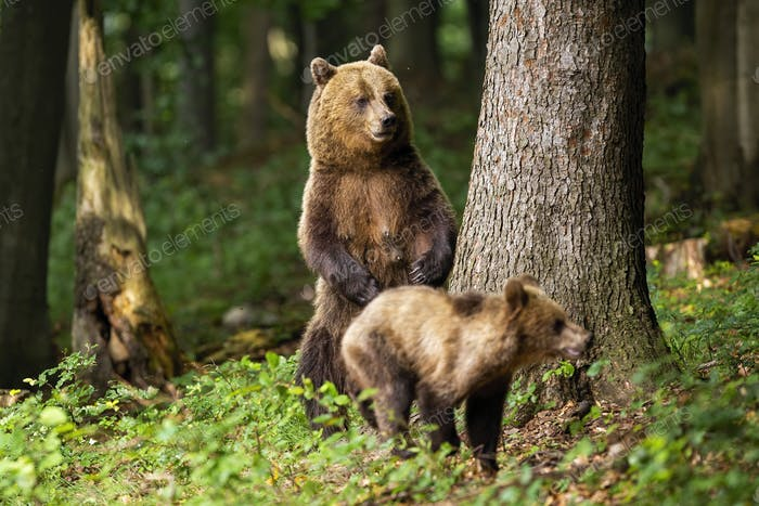 Aggressive brown bear mother standing on rear legs and protecting its cub