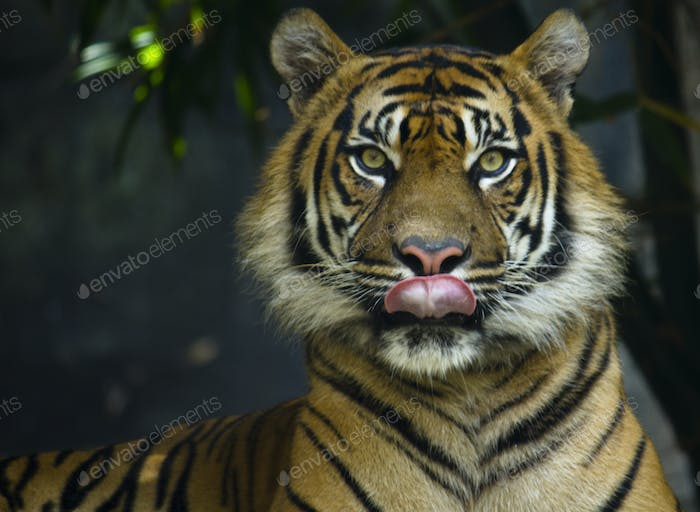 Tiger licking lips while looking at the lens