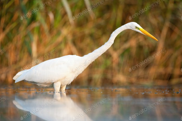 Attentive great egret looking into water in marsh in autumn