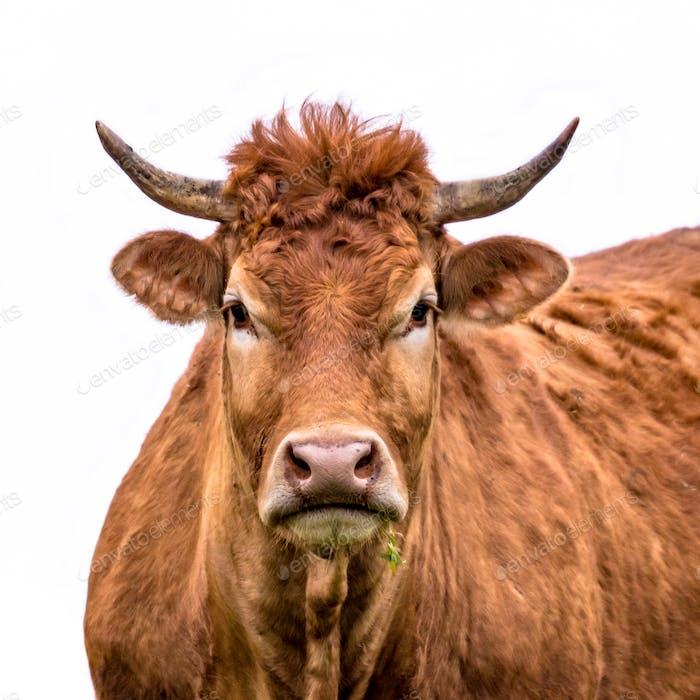 Lustige Kuh Porträt