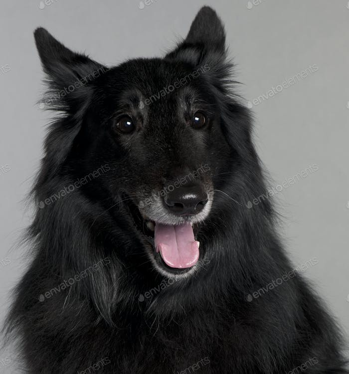 Belgian Shepherd Dog (Groenendael) (8 years old)