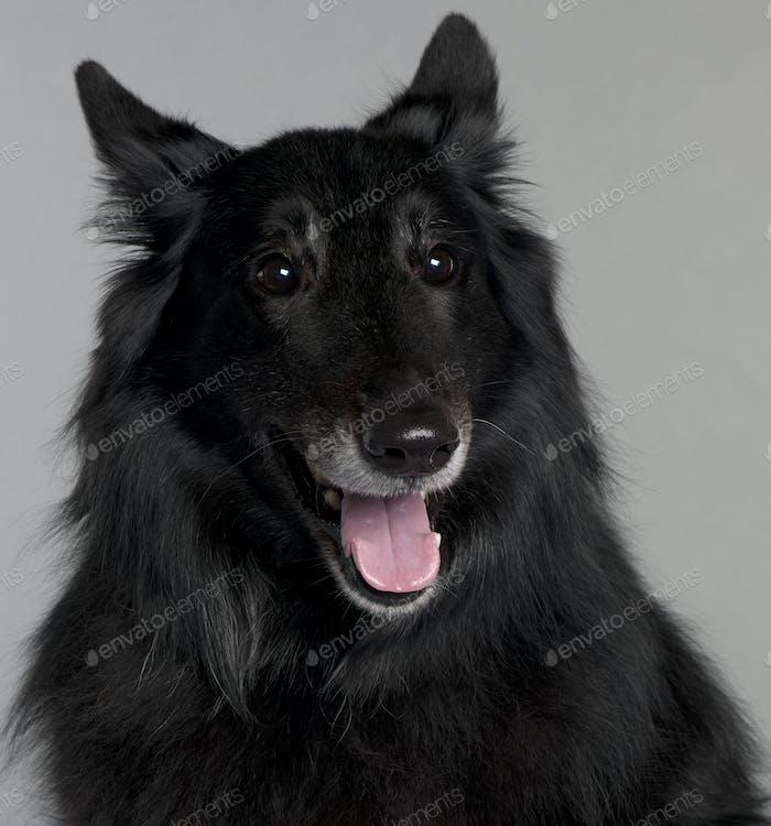 Belgian Shepherd Dog (Groenendael) (8 years old)