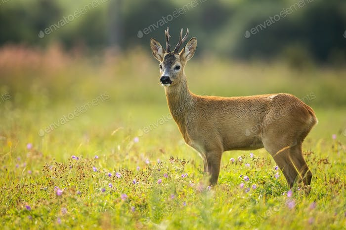 Curious roe deer grazing on the blooming colorful meadow full of wildflowers