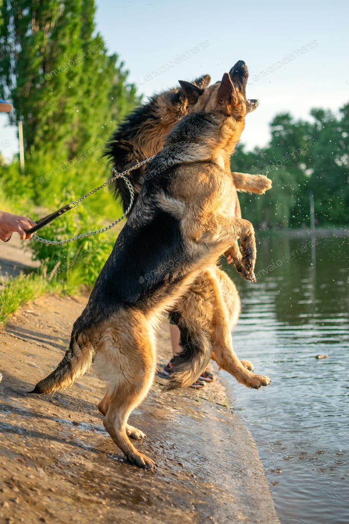Two German Shepherd Dogs play with owner outdoor. German Shepherd breed Dogs walking outside in