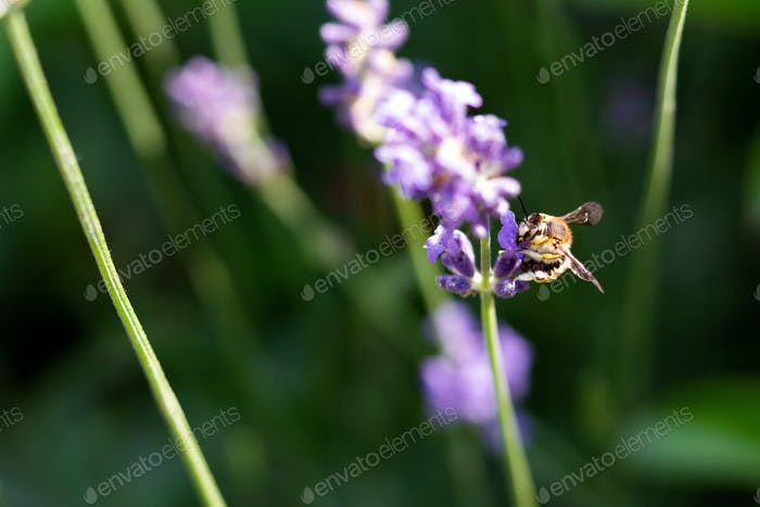 Honey bee on lavender flower. Honey bee is collecting pollen