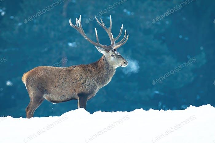 Majestätische Rotwild stehend auf Wiese im Winternebel