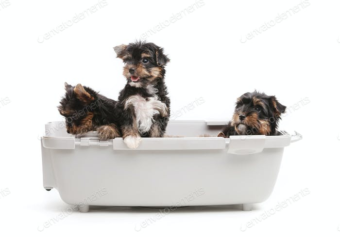 Three yorkshire terrier puppies in open plastic carrier