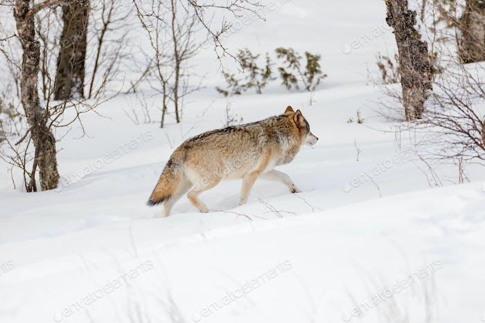 Pelziger Wolf durch nackte Bäume auf Schnee