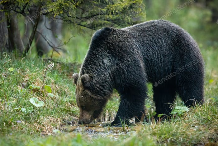Dominant brown bear male drinking water from stream in forest