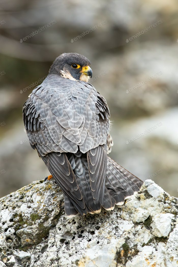 Majestic peregrine falcon standing on rock in spring