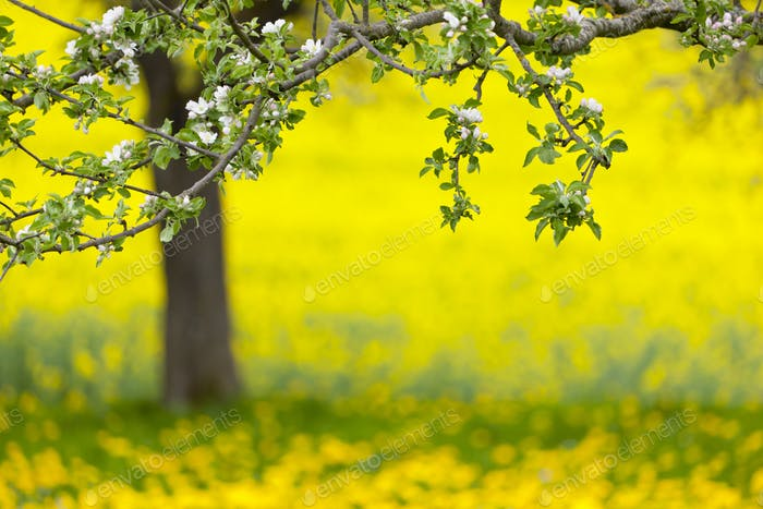 Apple Tree And Dandelion Meadow In Spring